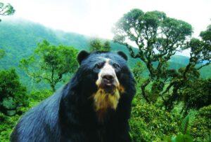 Oso Anteojos Parque Nacional Podocarpus Loja